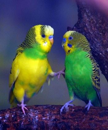 Прикольные волнистые попугаи
