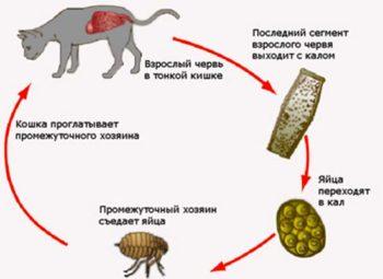 Процесс заражения кота глистами