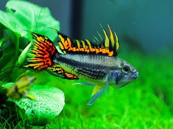 Рыбка апистограмма попугай