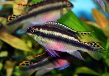 Рыбки апистограмма какаду