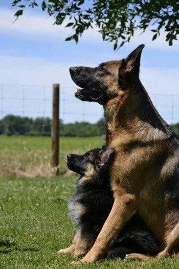Щенок и взрослая собака овчарки
