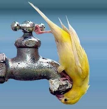 Смешной волнистый попугай под краном