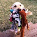 Собака принесла много игрушек