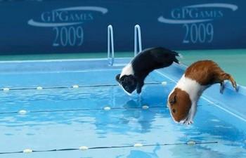 Соревнования морских свинок по плаванию