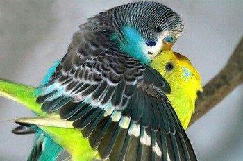 Волнистик обнимает попугая