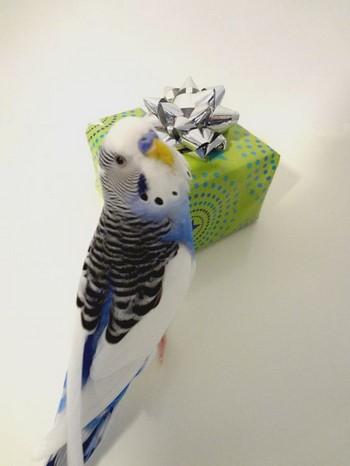 Волнистйы попугайчик смотрит на коробку с подарком