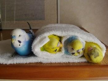 Волнистые попугаи завернуты в полотенце