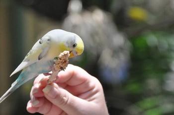 Волнистый попугай что-то ест