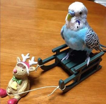 Волнистый попугай катается на саночках