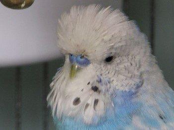 Волнистый попугай линяет