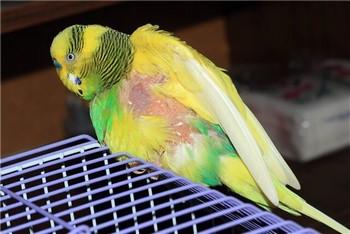 У попугая жопа вся голая стала без перьев