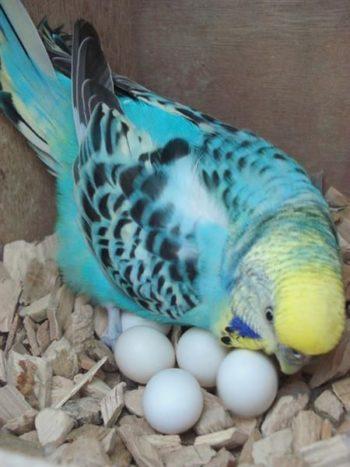 Волнистый попугай рядом с яйцами
