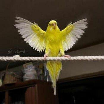 Волнистый попугай взлетает