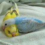 Волнистый попугай жалеет другого