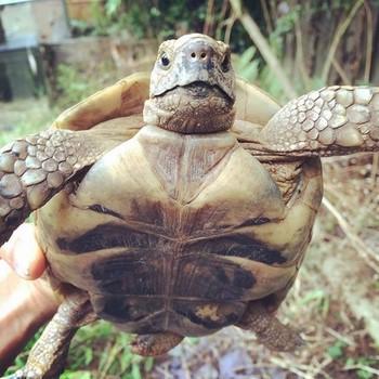 Взрослая черепаха