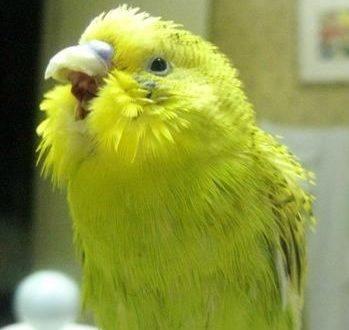 Желтенький волнистый попугайчик