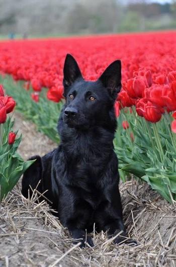Черная восточно-европейская овчарка в цветах
