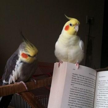 Два попугая кореллы на книге