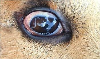 Глисты в глазах у собаки