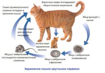 Как кошка заражается круглыми червями