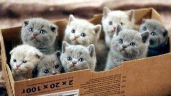 Коробка с британскими котятами