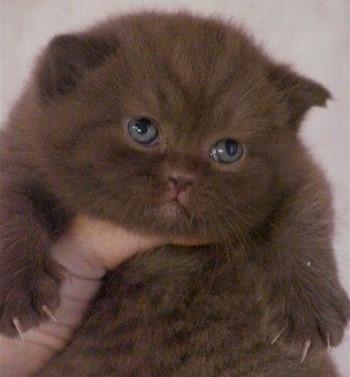 Красивый шоколадный британский котенок