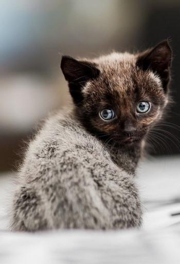 Красивый темный котенок