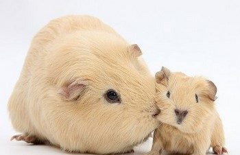 Милые морские свинки
