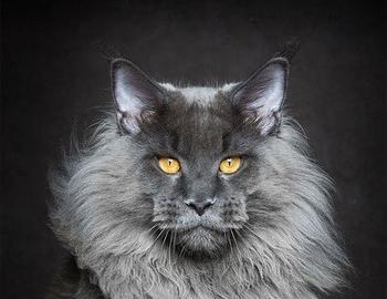 Очень красивый сервый кот мейн-куна