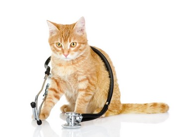 Рыжая кошка с фонендоскопом