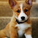 Рыжий щенок