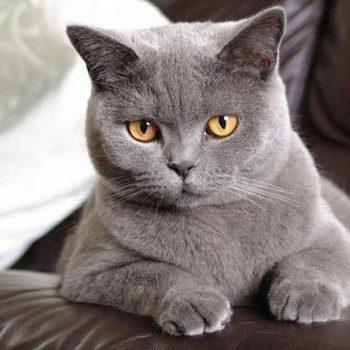 фото серого британского кота