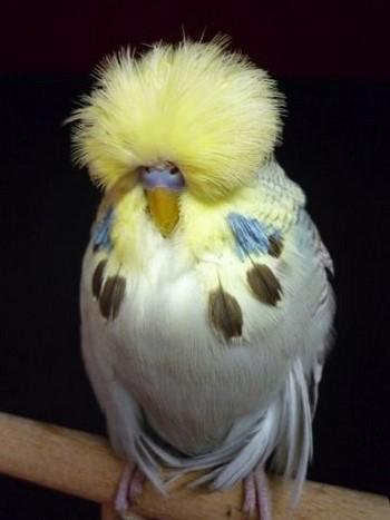 Смешной волнистый попугайчик спит