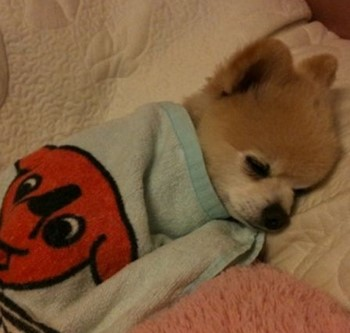 Собаку укутали в полотенце