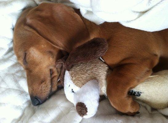 Такса спит в обнимку с игрушкой