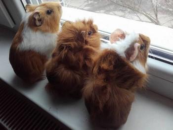Три морские свинки смотрят в окно