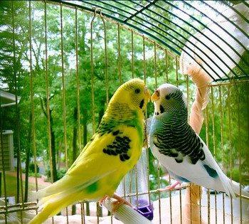 Волнистые попугаи целуются