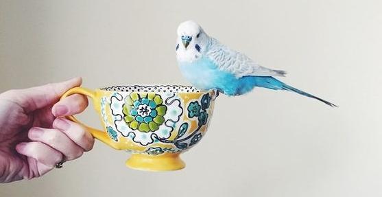 Волнистый попугай сидит на чашке