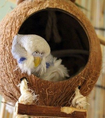 Волнистый попугайчик спит в своем домике