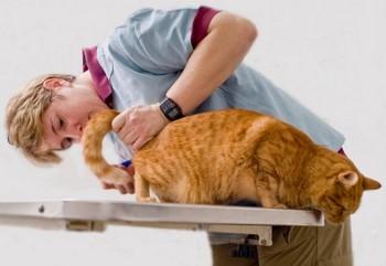 Врач осматривает анальную железу у кота