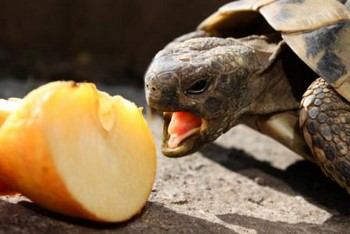 Черепашка ест яблоко