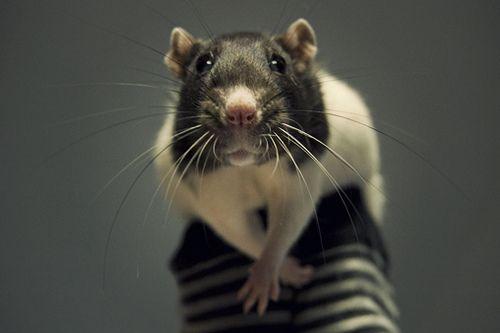 Черно-белая крыса