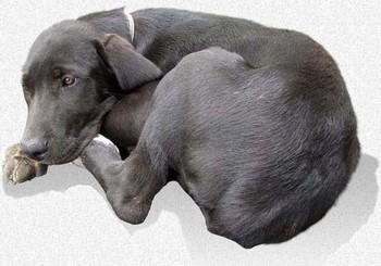 Черный щенок болеет