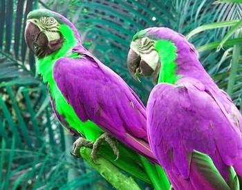 Два очень красивых фиолетовых ары попугая