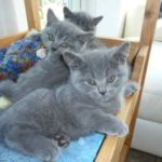 Голубые котята британцы
