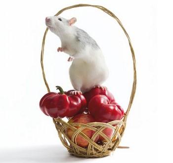 Крыса стоит на перцах и нюхает