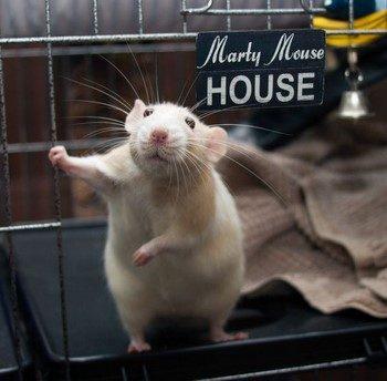Крыса стоит в домике