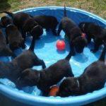 Много черных лабрадоров в маленьком бассейне