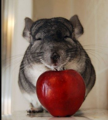Шиншилла я красное яблоко