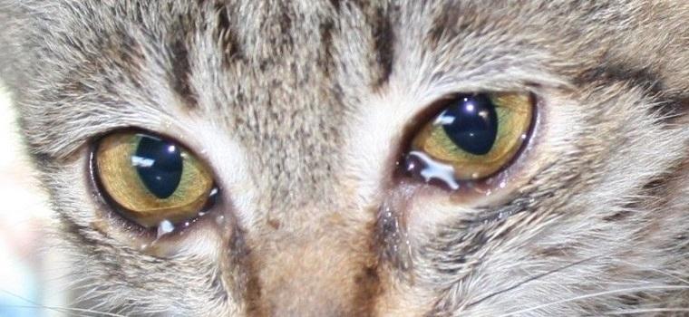 Слезы в глазах у кошки